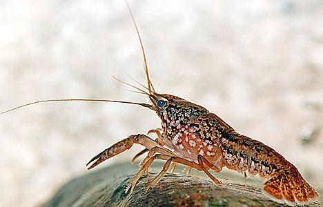 Crayfish invade local streams