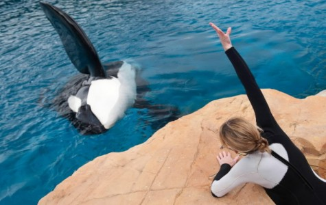 Sea World's new renovations to orca enclosures do not compensate for the unnatural environment these whales inhabit